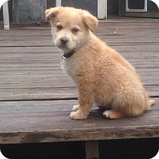 Husky/Golden Retriever Mix Puppy for adoption in Zanesville, Ohio - Fluffy