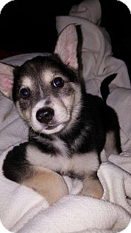 Husky/German Shepherd Dog Mix Puppy for adoption in Knoxville, Tennessee - MANNIE