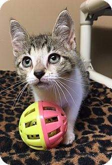 Domestic Shorthair Kitten for adoption in Germantown, Tennessee - Holly
