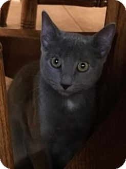 Russian Blue Cat for adoption in Hammond, Louisiana - Sabrina