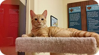 Domestic Shorthair Kitten for adoption in Phoenix, Arizona - Kristoff