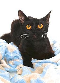 Domestic Shorthair Cat for adoption in Gloucester, Virginia - WILD THING