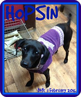 Chihuahua/Dachshund Mix Dog for adoption in Middletown, Connecticut - HOPSIN
