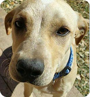 Labrador Retriever/Hound (Unknown Type) Mix Dog for adoption in Von Ormy, Texas - Buckley