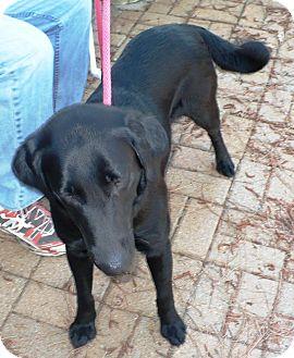 Labrador Retriever Dog for adoption in Eastpoint, Florida - Pepper