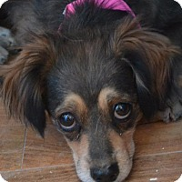 Adopt A Pet :: Wilma - Pahrump, NV