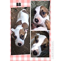 Adopt A Pet :: BB pending adoption - East Hartford, CT