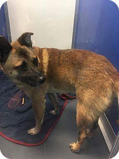 Australian Cattle Dog/Cocker Spaniel Mix Dog for adoption in Union Grove, Wisconsin - Bob