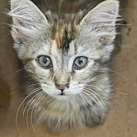 Adopt A Pet :: Ava - Knoxville, TN