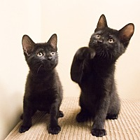 Domestic Shorthair Kitten for adoption in Chicago, Illinois - Muriel, Sam and Ravenna