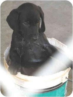 Labrador Retriever/Border Collie Mix Puppy for adoption in Westport, Connecticut - Little Sisters