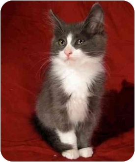 Domestic Mediumhair Kitten for adoption in Montreal, Quebec - Penguin