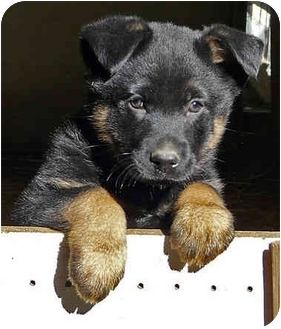 German Shepherd Dog Mix Puppy for adoption in Los Angeles, California - Rowley's puppies