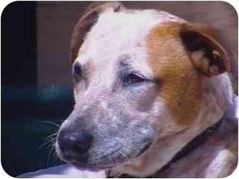 Australian Cattle Dog/Labrador Retriever Mix Dog for adoption in Sacramento, California - Copper