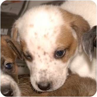 Cattle Dog Mix Puppy for adoption in Broadway, New Jersey - Frosty
