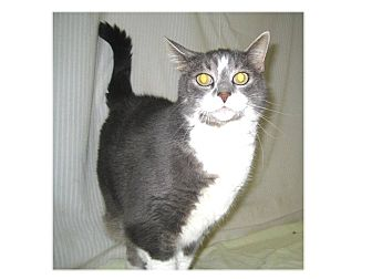 Domestic Shorthair Cat for adoption in North Kingstown, Rhode Island - Lizzie
