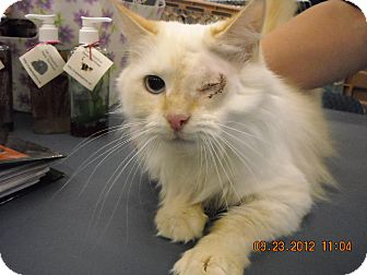 Himalayan Cat for adoption in Riverside, Rhode Island - Candace