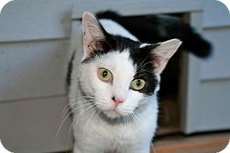 Domestic Shorthair Cat for adoption in Carneys Point, New Jersey - Denny