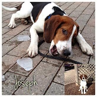 Treeing Walker Coonhound Puppy for adoption in Garden City, Michigan - Joseph