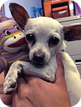 Chihuahua Mix Dog for adoption in Lake Elsinore, California - Elvis