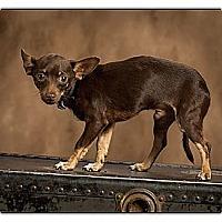 Adopt A Pet :: William - Owensboro, KY