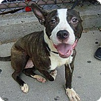 Adopt A Pet :: Brandy - East Stroudsburg, PA