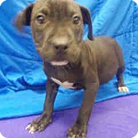 Adopt A Pet :: Shaunna ADOPTED!! - Antioch, IL