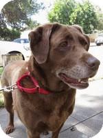 Labrador Retriever Mix Dog for adoption in Torrance, California - Maggie Bee