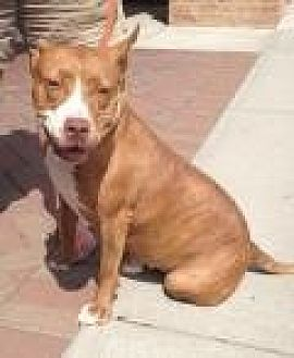 Pit Bull Terrier Mix Dog for adoption in Mount Pleasant, South Carolina - Darla