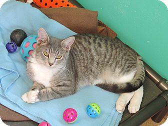 Domestic Shorthair Kitten for adoption in Brookings, South Dakota - Hawk