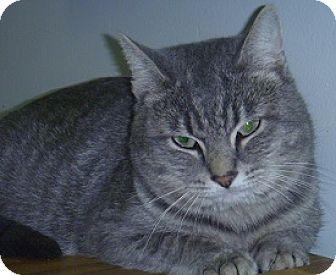 Domestic Shorthair Cat for adoption in Hamburg, New York - Joey