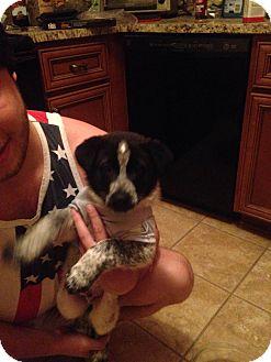 Australian Shepherd/Australian Cattle Dog Mix Puppy for adoption in CHAMPAIGN, Illinois - Sydney