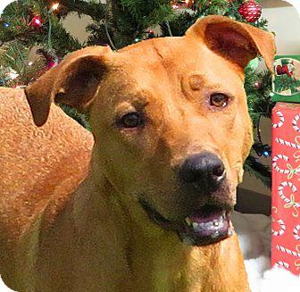 Labrador Retriever/Hound (Unknown Type) Mix Dog for adoption in Middletown, New York - Calibos