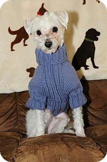Maltese/Poodle (Toy or Tea Cup) Mix Dog for adoption in Hampton, Virginia - Hami