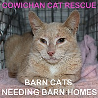 Domestic Shorthair Cat for adoption in Duncan, British Columbia - Barn cats ('fixed' feral cats)