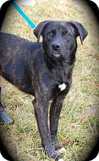 Border Collie/Mountain Cur Mix Puppy for adoption in Ijamsville, Maryland - Jingle
