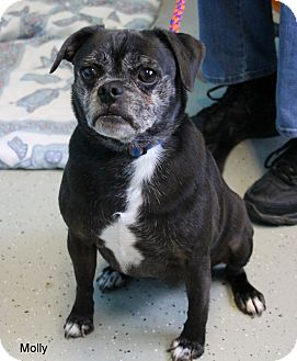 Pug Mix Dog for adoption in Hibbing, Minnesota - Molly