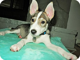 Husky Mix Puppy for adoption in Chattanooga, Tennessee - Aika