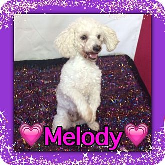 Toy Poodle Dog for adoption in Pahrump, Nevada - Melody