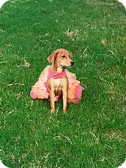 Labrador Retriever/Golden Retriever Mix Dog for adoption in Reynoldsburg, Ohio - Annie Pup