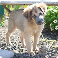 Adopt A Pet :: *Sami - PENDING - Westport, CT