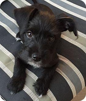 Schnauzer (Miniature) Mix Puppy for adoption in Santa Monica, California - DOMINIC