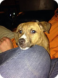 Pit Bull Terrier Mix Puppy for adoption in Salamanca, New York - Bo