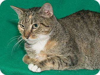 Domestic Shorthair Cat for adoption in Elmwood Park, New Jersey - Concetta