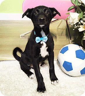 Labrador Retriever Mix Puppy for adoption in Castro Valley, California - Wilbur