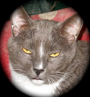 Domestic Shorthair Cat for adoption in Newtown, Connecticut - Jasper