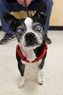 Boston Terrier Dog for adoption in various cities, Florida - Happy Gilmore KY