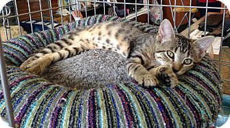Abyssinian Kitten for adoption in Edgewater, New Jersey - Tabitha