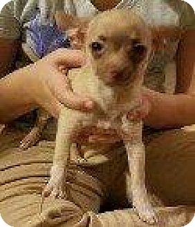Chihuahua Mix Puppy for adoption in Hampton, Virginia - POOKA
