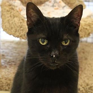 Domestic Shorthair/Domestic Shorthair Mix Cat for adoption in Morgan Hill, California - Edward